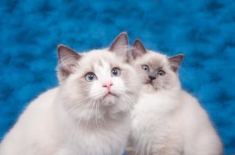 https://cf.ltkcdn.net/cats/images/slide/141553-850x563r1-two-ragdoll-cats.jpg
