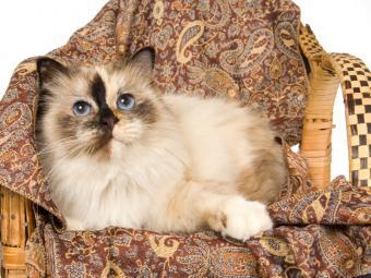 https://cf.ltkcdn.net/cats/images/slide/141557-800x600r1-Birman-tortie.jpg