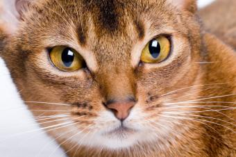 https://cf.ltkcdn.net/cats/images/slide/141560-849x565r1-abyssinian-face.jpg