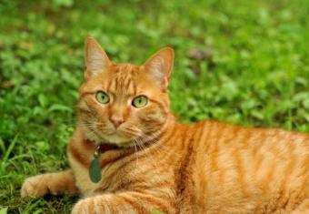 Orange Mackerel Tabby