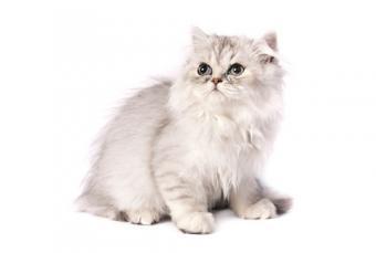Characteristics of Chinchilla Persian Cats