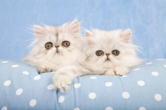Chinchilla silver kittens; Copyright Linncurrie at Dreamstime.com