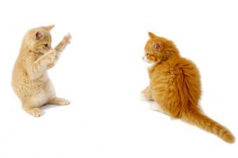 Quarreling kittens playing rough