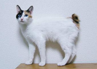 Japanese Bobtail
