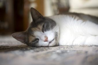 Stomach Cancer in Cats