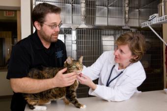 Vet checking cat while owner helps hold her