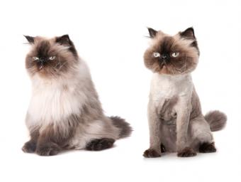 Lion cut before and after