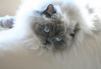 https://cf.ltkcdn.net/cats/images/slide/165290-850x585-blue-point-doll-face.jpg