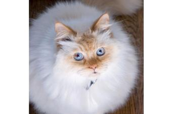 https://cf.ltkcdn.net/cats/images/slide/165801-850x565-89697-850x565-Flamepoint-Himi.jpg