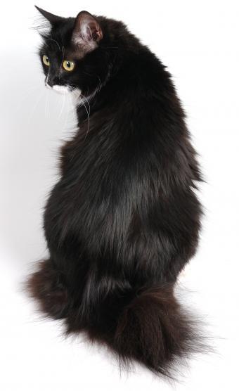 bobtail cat