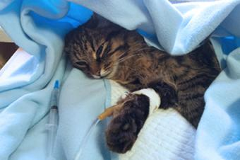 Recovering cat