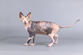 hairless canadian sphynx cat