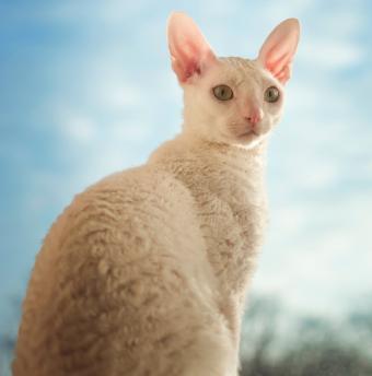 https://cf.ltkcdn.net/cats/images/slide/188126-841x850-cornish-rex.jpg