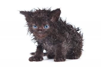 https://cf.ltkcdn.net/cats/images/slide/188160-850x566-wet-black-kitten.jpg