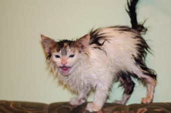 https://cf.ltkcdn.net/cats/images/slide/188164-850x566-wet-cat-on-couch.jpg