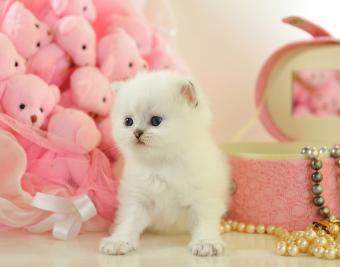 https://cf.ltkcdn.net/cats/images/slide/188404-850x668-little-british-kitten.jpg