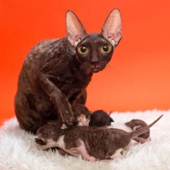 https://cf.ltkcdn.net/cats/images/slide/195118-850x850-big-ears-cat.jpg