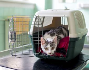 anxious kitty in carrier