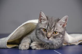 Is It Safe to Give Cats Human Antibiotics?