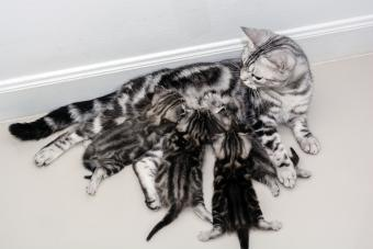 Mother cat breastfeeding