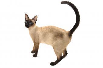 https://cf.ltkcdn.net/cats/images/slide/212040-850x567-Wedgie-Siamese.jpg
