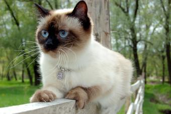 https://cf.ltkcdn.net/cats/images/slide/212041-850x567-Applehead-Siamese.jpg