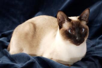 https://cf.ltkcdn.net/cats/images/slide/212044-850x567-Seal_Point.jpg