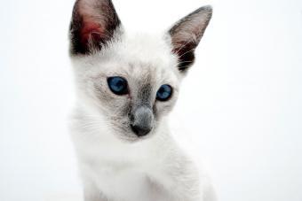 https://cf.ltkcdn.net/cats/images/slide/212045-850x567-Blue_Point_Siamese_Kitten.jpg
