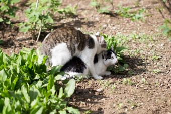 What You Need to Know About Feline Sexual Behavior