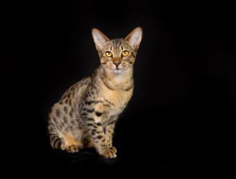 Purebred Egyptian Mau cat