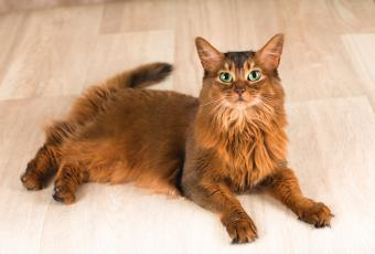 Somali cat with bright green eyes