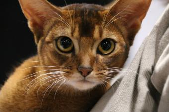 Close up of Abyssinian cat