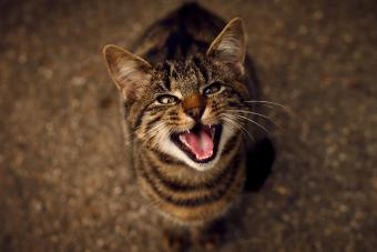 black cat meowing up at camera