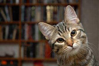 Cat's muzzle in front of a bookshelf