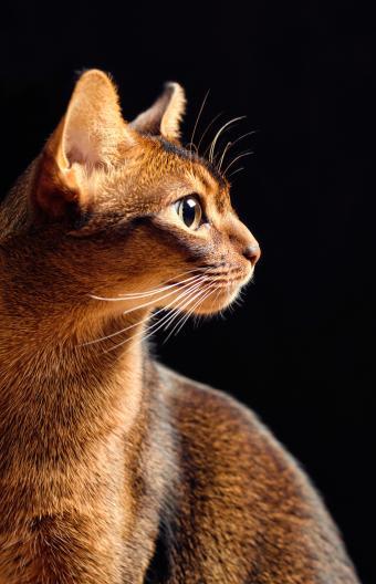 Purebred Ruddy abyssinian male cat