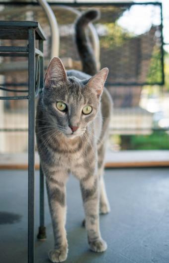 Gray Abyssinian-tabby cat