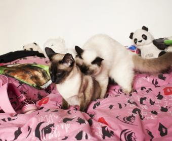 Overview of Cat Breeding and Mating