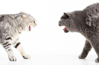 two cats in a conflict