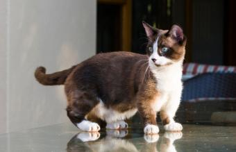 Adorable Dwarf Cat and Teacup Breeds