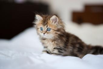 Blue-eyed Persian kitten on white sheets