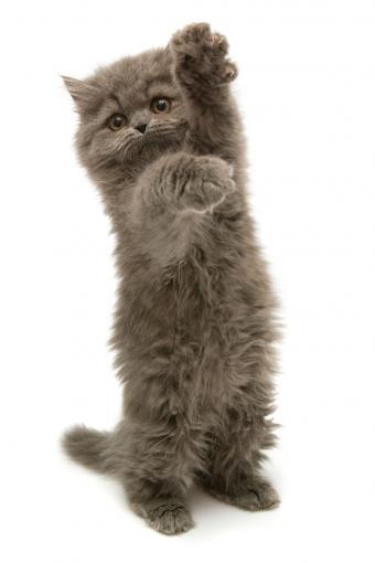 Standing grey Persian kitten