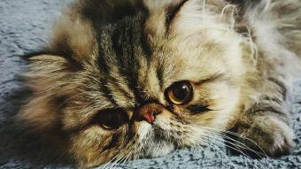 Portrait of Persian kitten on floor