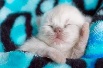 white newborn Persian kitten