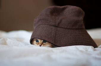 Persian kitten under brown hat
