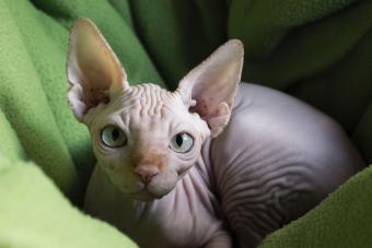 https://cf.ltkcdn.net/cats/images/slide/233286-850x567-young-hairless-cat.jpg