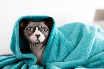 https://cf.ltkcdn.net/cats/images/slide/233288-850x567-hairless-cat-in-blanket.jpg