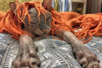 https://cf.ltkcdn.net/cats/images/slide/233290-850x567-sleepy-hairless-cat.jpg
