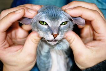 https://cf.ltkcdn.net/cats/images/slide/233292-850x567-holding-ears-of-hairless-cat.jpg