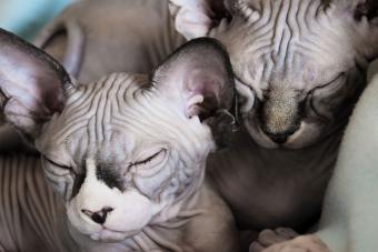 https://cf.ltkcdn.net/cats/images/slide/233296-850x567-two-hairless-cats.jpg