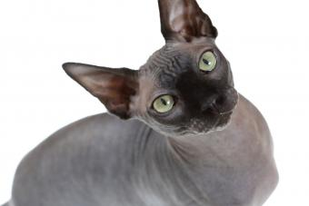 https://cf.ltkcdn.net/cats/images/slide/233302-850x567-grey-hairless-cat.jpg